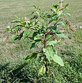 Phytolacca americana full plant.JPG