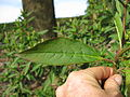 Phytolacca octandra leaf2 (15109338220).jpg