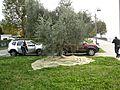 Pianta di olivo sul lago di Lecco.JPG