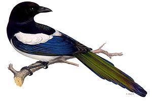 Von Wright brothers - Illustration of a magpie from the Svenska foglar by the brothers von Wright.