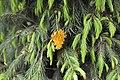 Picea smithiana with rust fungus disease.jpg