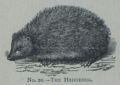 Picture Natural History - No 20 - The Hedgehog.png
