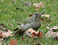 Picus viridis sharpei 003.jpg