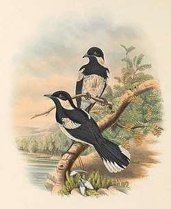 Piezorhynchus browni - The Birds of New Guinea (cropped).jpg