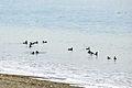 Pigeon Guillemots, Dungeness NWR - 3347753896.jpg