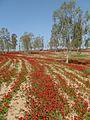 PikiWiki Israel 15241 Red winter flowers.jpg