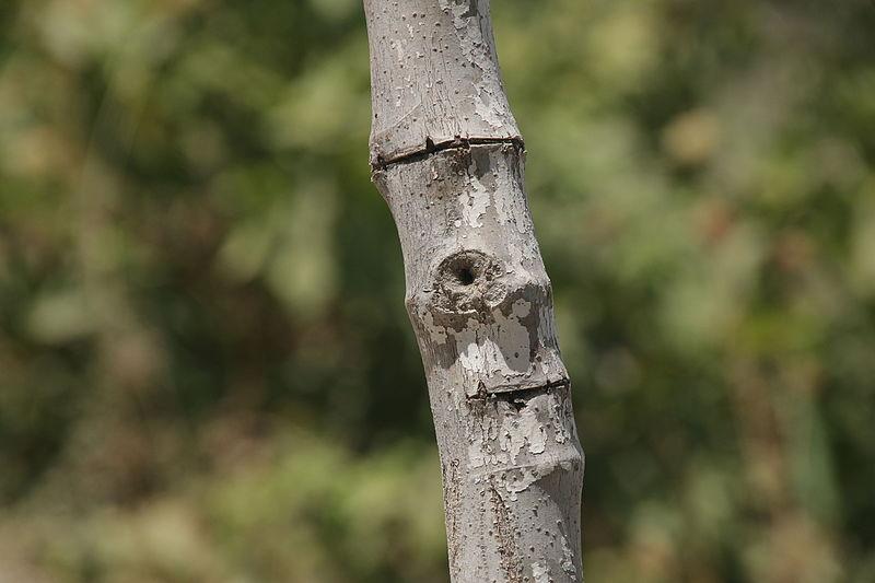 עץ חלול