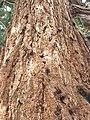 Pinales - Sequoiadendron giganteum - 4.jpg