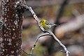 Pine Warbler (Setophaga pinus) male (3585836536).jpg