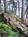 Pine thees growing on a rock, along the footpath to Gabrovo, Shipka - panoramio.jpg