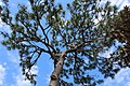 Pine tree in Largo, Florida on March 6, 2021.JPG