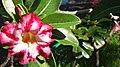 Pink temple trees flower.jpg