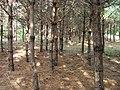 Pinus sylvestris prune 2 beentree.jpg