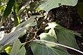 Piper auritum 37zz.jpg