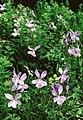 Pirineos, flora 1981 22.jpg