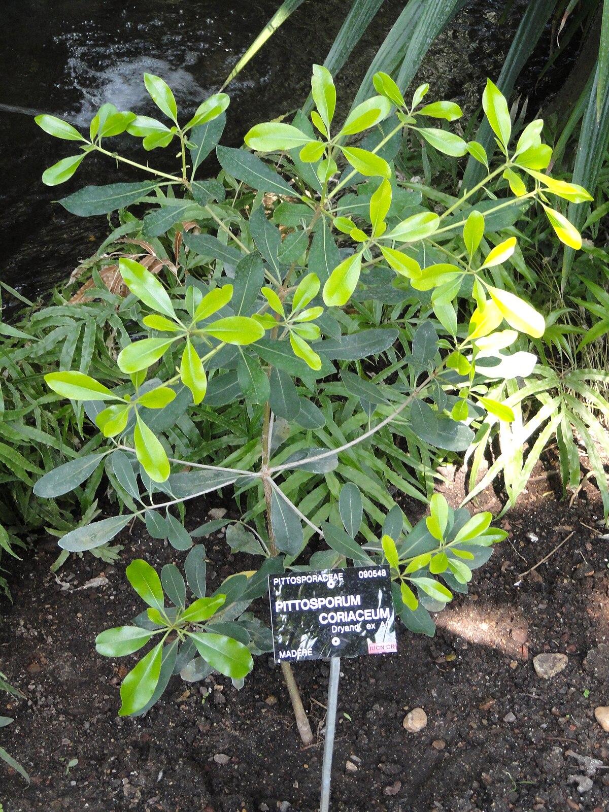 Pittosporum coriaceum wikidata for Jardin botanique de conception