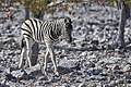 Plains Zebra Baby 2019-07-26.jpg
