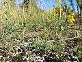 Plantago coronopus sl2.jpg