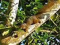 Plantain Squirrel (Callosciurus notatus) (15375519009).jpg