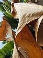 Plantain Tree II.jpg
