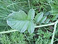 Plante C3.jpg