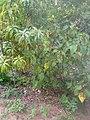 Plants d'avocat et de mangue.jpg