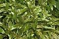 Pleurozium schreberi (b, 144939-474711) 4115.JPG