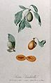 Plum (Prunus species); fruiting branches with halved fruit. Wellcome V0043142.jpg