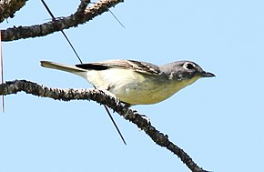 Description de l'image Plumbeous Vireo (Vireo plumbeus) (7222930710) (cropped).jpg.