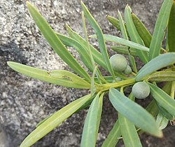 Podocarpus elongatus Groot Winterhoek fruits 2.jpg