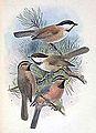 Poecile montanus songarus & Poecile montanus affinis & Poecile superciliosus 1889.jpg