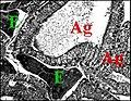 Poecilopachys, tissu endocrinoïde.jpg