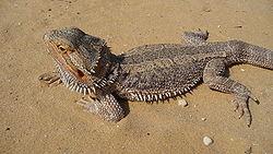 L'agame barbu, également appelé dragon barbu (nom scientifique: Pogona vitticeps) vit dans les déserts. Il est très courant en terrarium