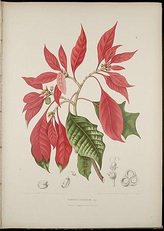 "Joel Roberts Poinsett - Mexican ""flor de la noche buena,"" called in the U.S. the poinsettia."