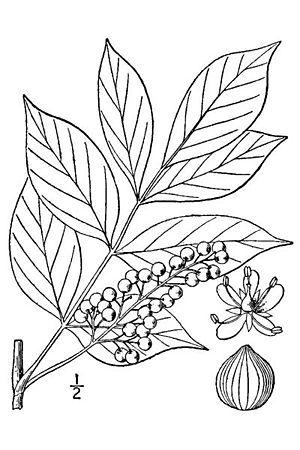 Toxicodendron vernix - Poison sumac