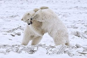 Polar Bears (Cubs), Arctic National Wildlife R...