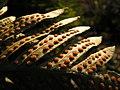 Polypodium vulgare, sores (Matthieu Gauvain).JPG