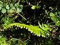 Polystichum lonchitis. Dientabrún (detalle).jpg
