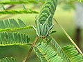 Polyura athamas - common nawab at Madayippara (4).jpg