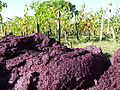 Pomace in the vineyard after pressing.jpg