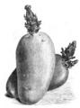 Pomme de terre Marjolin Vilmorin-Andrieux 1883.png