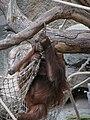 Pongo pygmaeus abeli - Hamburg, Tierpark Hagenbeck - 2.jpg