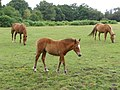 Ponies on Cadnam Common - geograph.org.uk - 207672.jpg