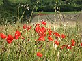 Poppies by the footpath - geograph.org.uk - 2523298.jpg