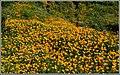 Poppy Invasion (101570097).jpeg