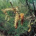 Populus deltoides monilifera malecatkins.jpg