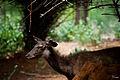 Portrait of a Sambar Deer.jpg