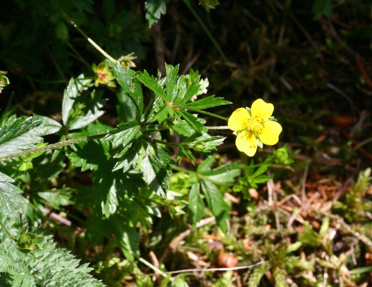 Fiore Giallo Quattro Petali.Potentilla Erecta Wikipedia