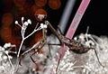 Praying mantis partying.JPG