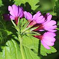 Primula jesoana var. jesoana (flower side).JPG